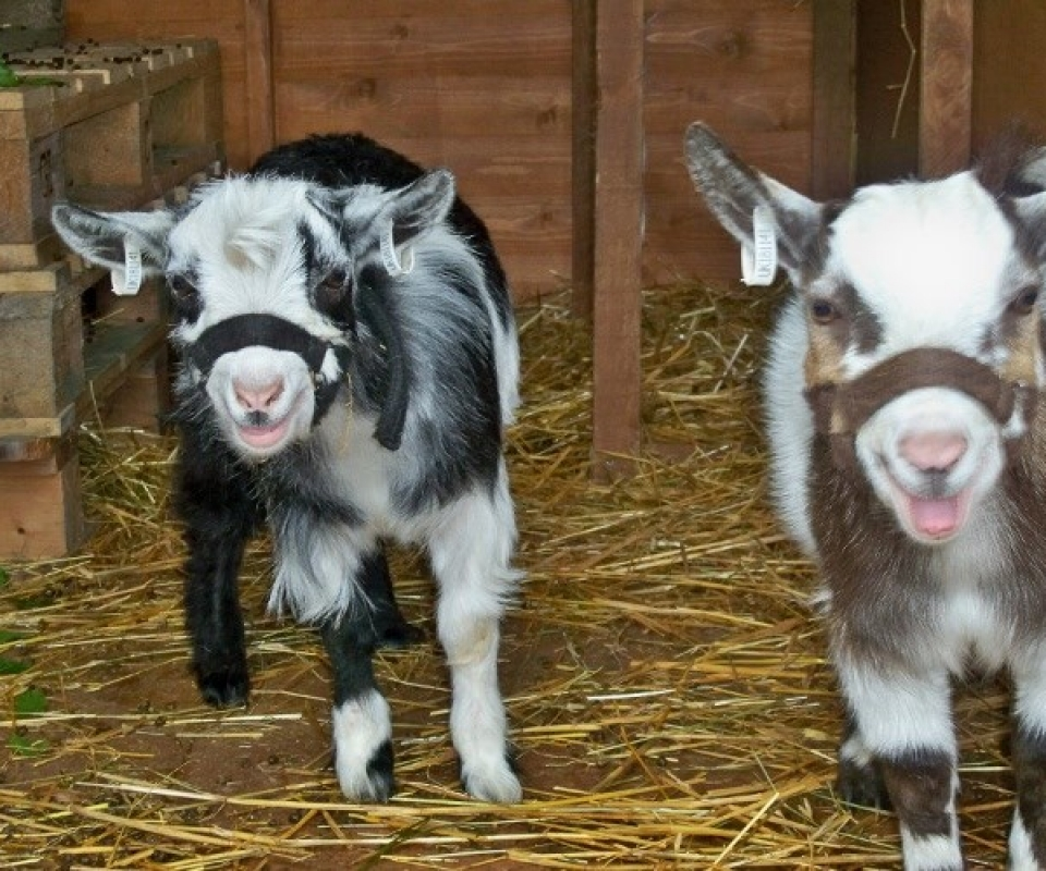 Pygmy Goats – 2011 – 06 – June – 100_1660