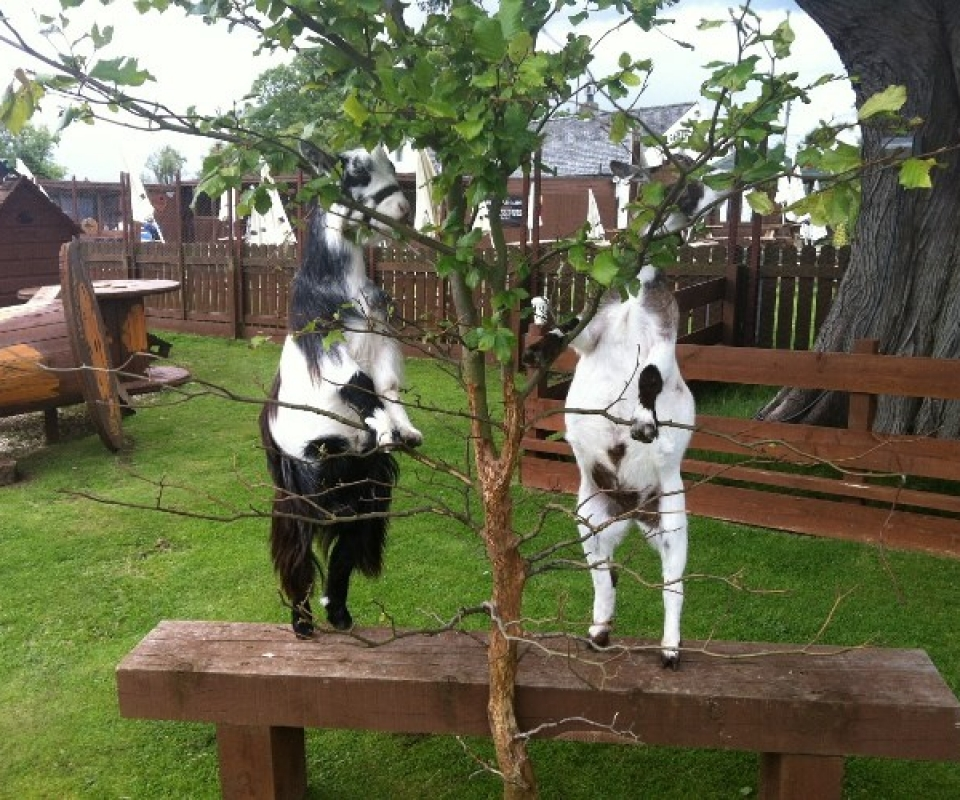 Pygmy Goats – 2012 – 08 – Aug – IMG_5205