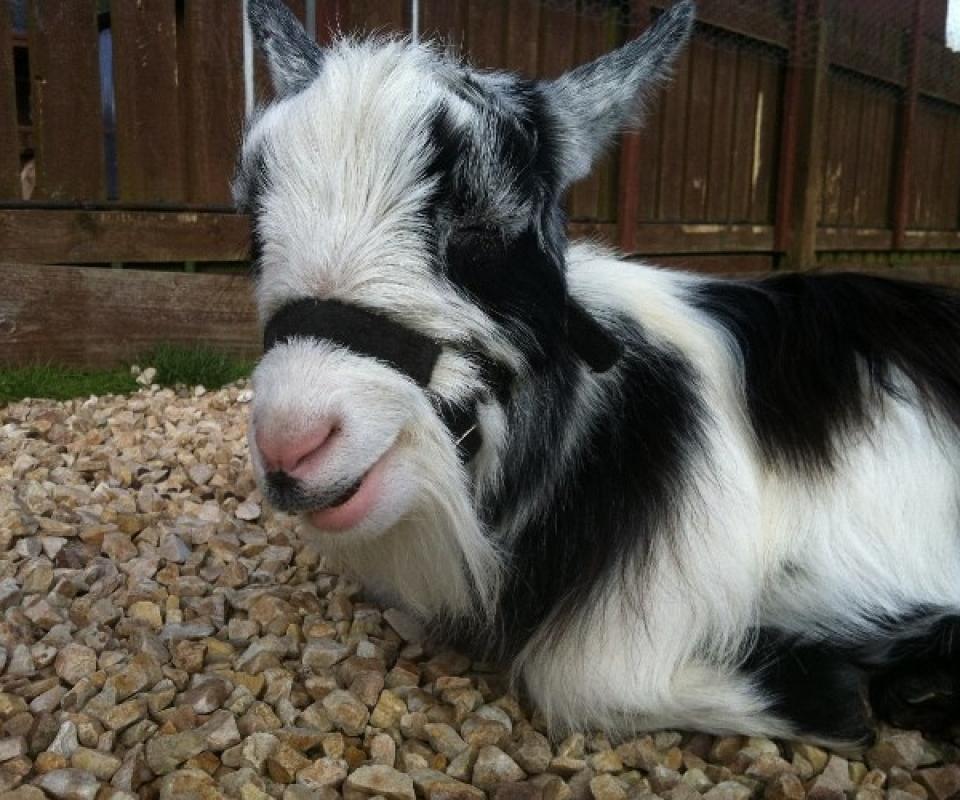 Pygmy Goats – 2012 – 9 – Sept -IMG_5437
