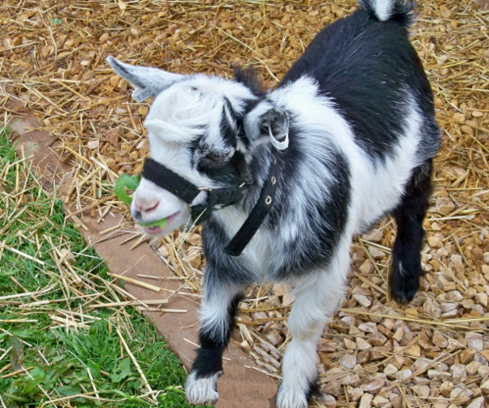 Pygmy Goats – Billy 1 – 19th May 2011