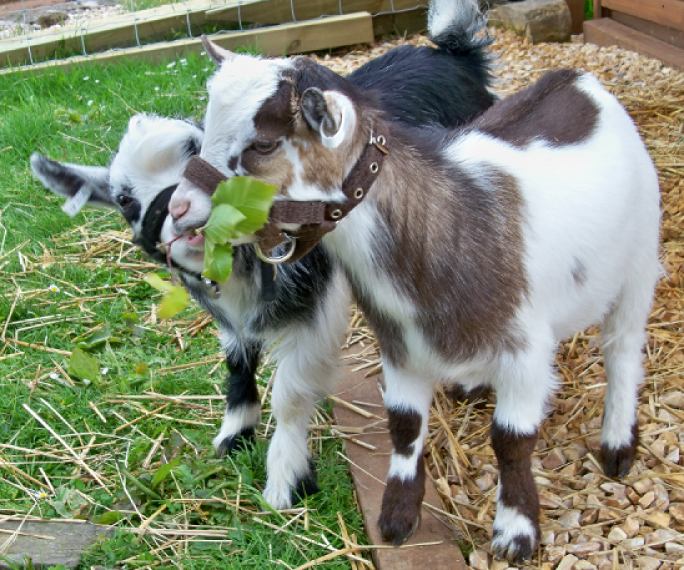 Pygmy Goats – Billy & Tom2 – 19th May 2011