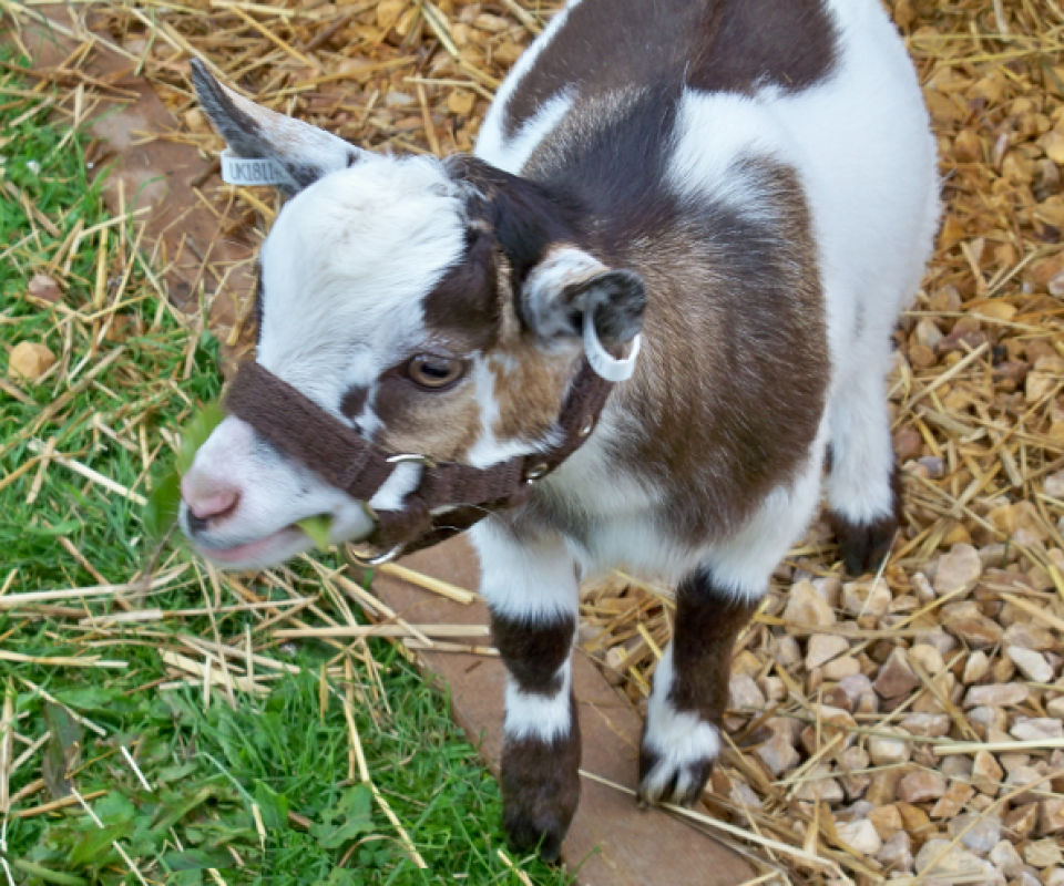 Pygmy Goats – Tom1 – 19th May 2011