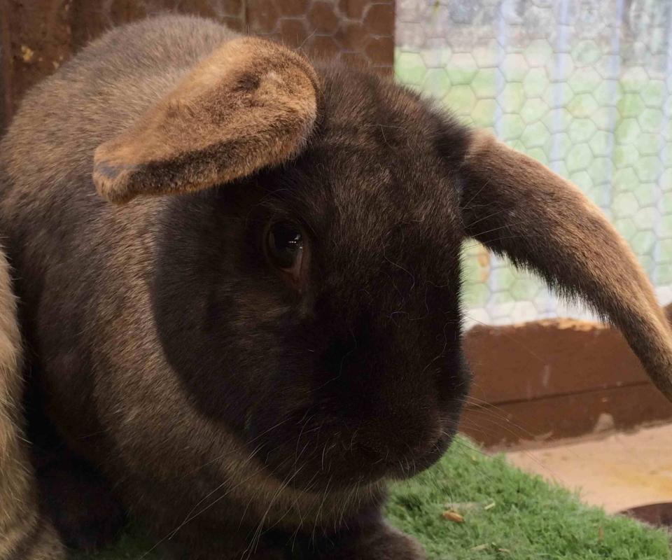 Rabbit – Toby